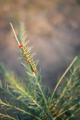 Closeup of a caterpillar crawling on a stalk