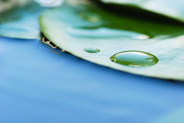 water lily leaves and water drops