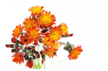 Pilosella aurantiaca Wildflower