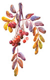 Beautiful Rowan Berries,  Twig. Watercolor Painting.