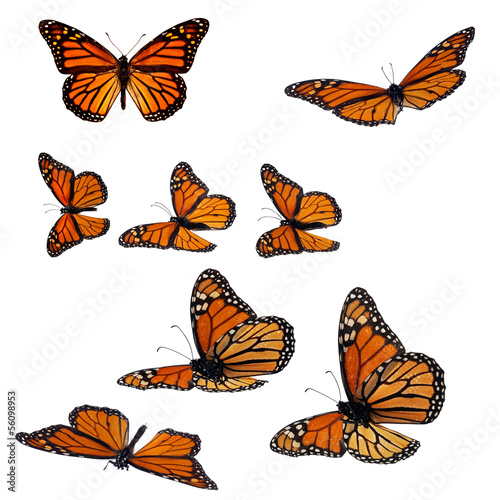 Collection of monarch butterflies