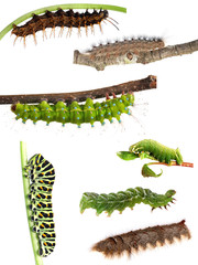 Collection of caterpillars from butterflies and moths