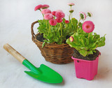 Pink daisies in a basket and garden shovel