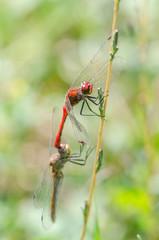 Dragonflies Mating Close Up Details
