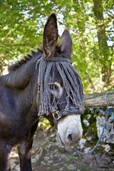 Portrait d'un âne noir