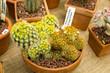 Cactus Mammillaria Carmenae for sale in pot