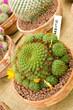 Cactus rebutia for sale in a small pot