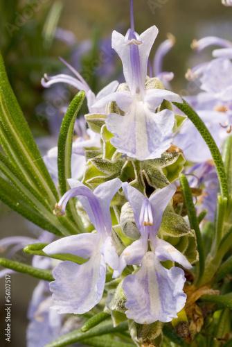 rosmarino in fiore