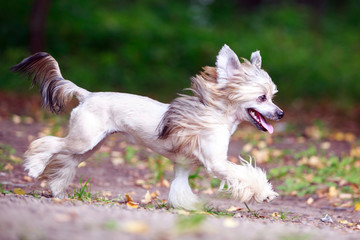 Chinese crested dog in park