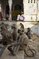 India, Pushkar, indian monkeys on the steps to the sacred lake
