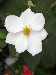 Japanese anemone flower (Anemone Japonica)