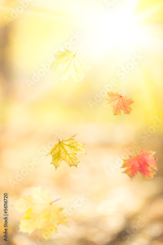 Falling autumn maple leaves