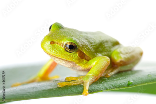 Papiers peints Grenouille Green tree frog on the leaf close up