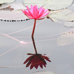 Red lotus and lotus leaf in a pond