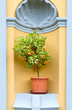 miniature lemon tree with fruit