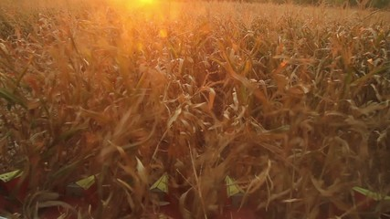 Food Industry Concept Harvester Collecting Corn at Sunset HD