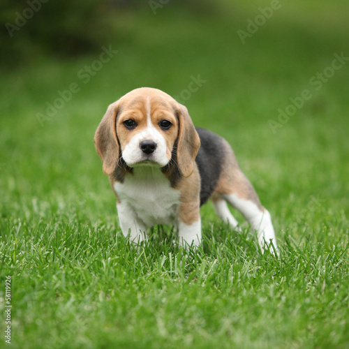 Gorgeous beagle puppy in the garden