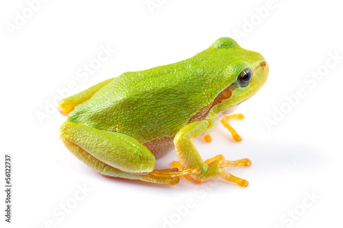 Foto op Canvas Kikker Green tree frog close up over white background