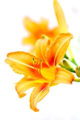 Orange tiger lilies blooming in the garden