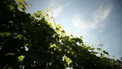 Weinstöcke - Weinreben