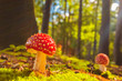 Sunny view of fly agaric mushrooms in a forest