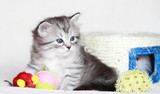 pet of siberian cat at one month - 56130339