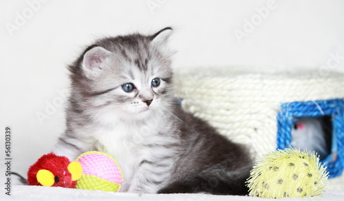 pet of siberian cat at one month