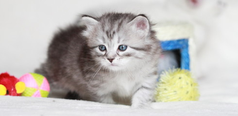 puppy of siberian cat at one month