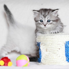 puppy of siberian cat with toys