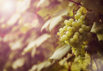 Ripe grapes at sunset