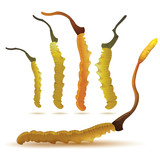 set of cordyceps