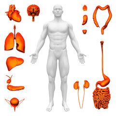 Internal organs - Human anatomy