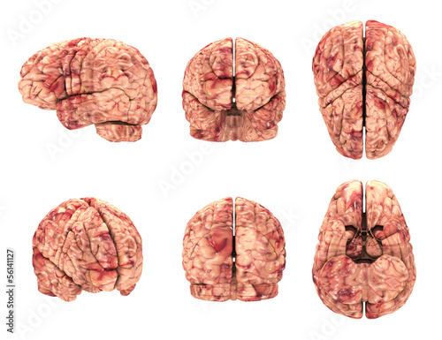 Anatomy Brain - 6 Views Isolated on White
