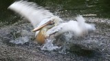 Great white pelican bathes in water