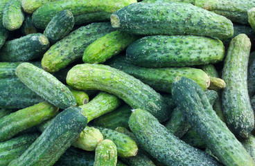 Cucumber ready for ickling in late summer season