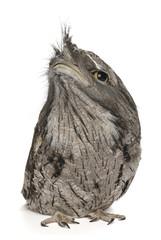 Tawny Frogmouth, Podargus strigoides, isolated on white.