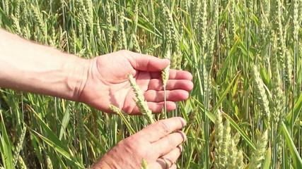 Bauer prüft Getreidehalm