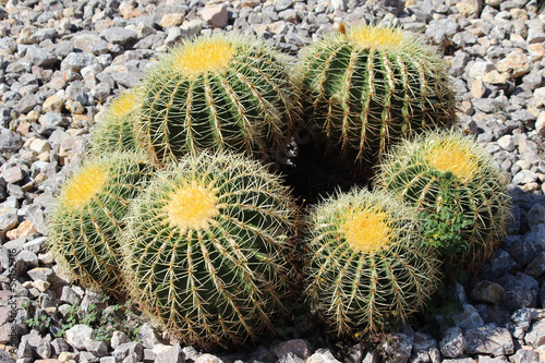 Goldenes Fass Kakteen (golden barrel cactus)