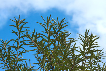 Sea-buckthorn branches top over blue sky with white clouds
