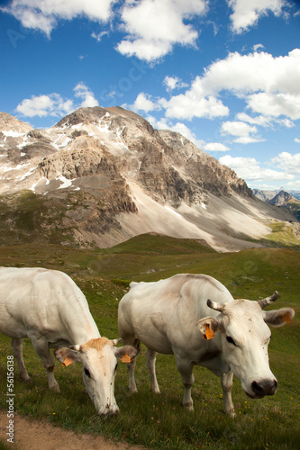 a herd of cows in the French Alps