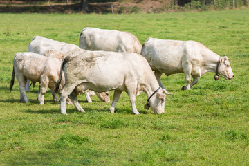 White cows in Dutch pasture