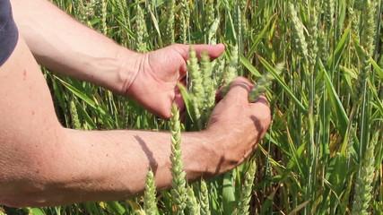 Mit den Händen Getreide prüfen