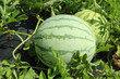 watermelon with water drops in field