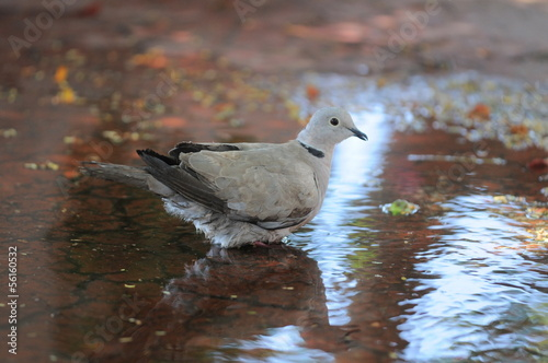 Plexiglas Eagle Pigeon on the Water