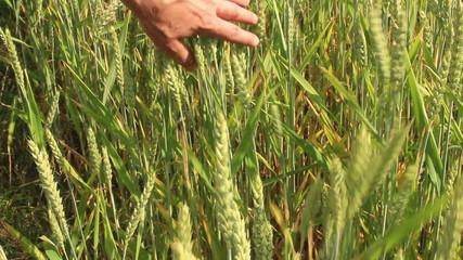 Bauer prüft sein Getreidefeld