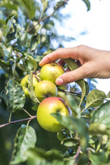 Closeup of harvesting apples