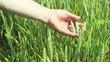 Bauer prüft sein Getreide