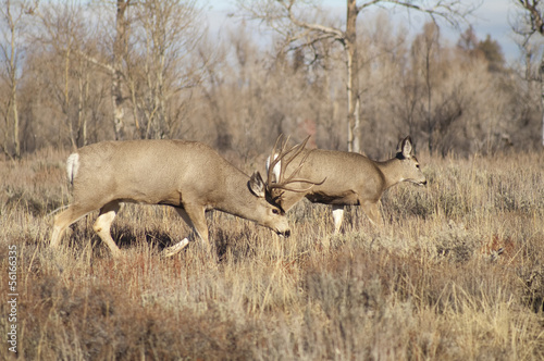 Mule Deer Buck Leading Female Family Winter Grassland Wildlife