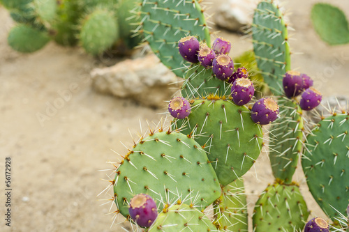 Fotobehang Cactus Prickly pear cactus with fruit in purple color.