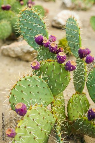 In de dag Cactus Prickly pear cactus with fruit in purple color.